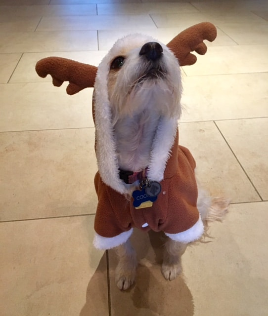 small terrier in a reindeer outfit   apple peanut butter dog treats