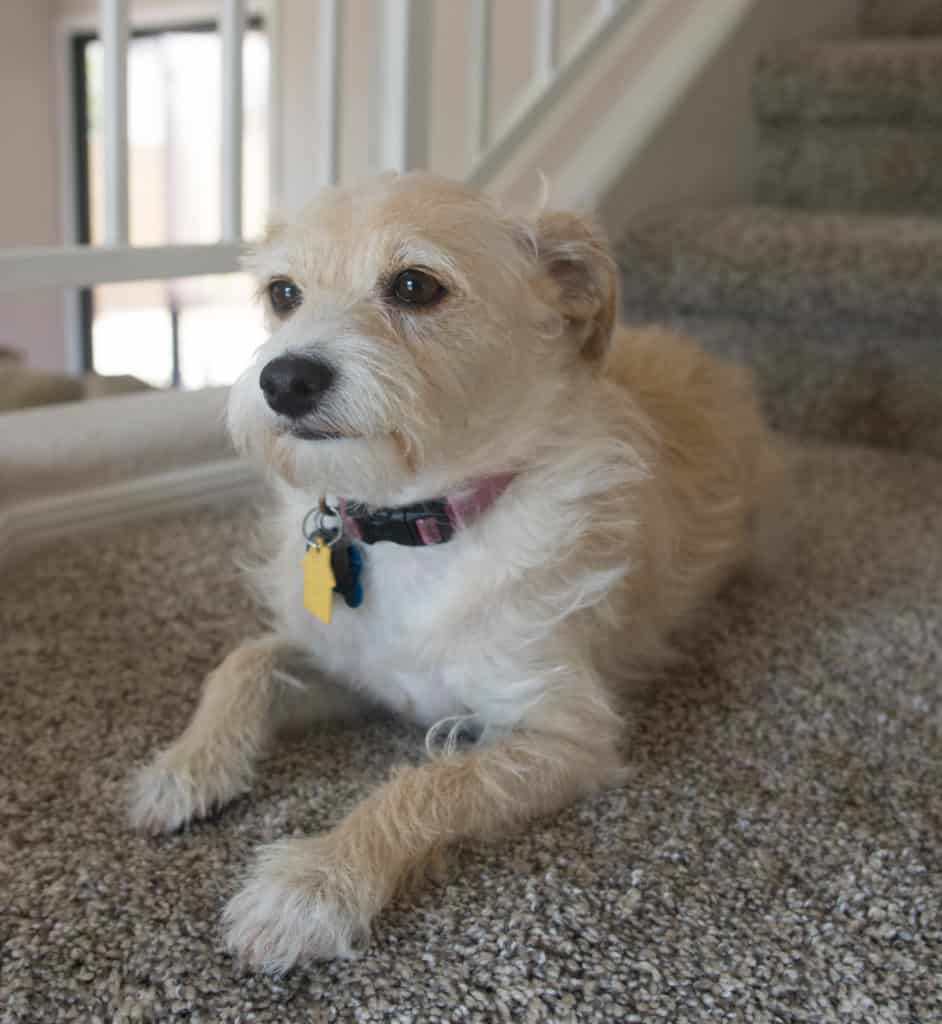 small terrier mix sitting sitting on a staircase