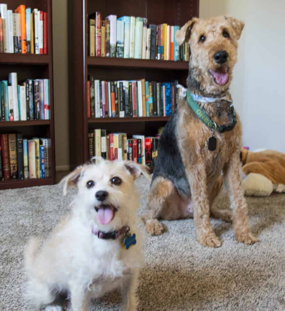 an airedale and a small terrier mix sitting in front of bookshelves